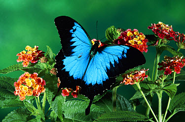 Ulysses Butterfly (Papilio ulysses) in the rainforest, Kuranda State Forest, Queensland, Australia  -  Michael & Patricia Fogden