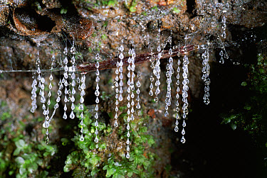 New Zealand Glow-worm (Arachnocampa luminosa) larvae or glow worms with sticky traps to catch prey, rainforest, Lamington National Park, Queensland, Australia  -  Michael & Patricia Fogden
