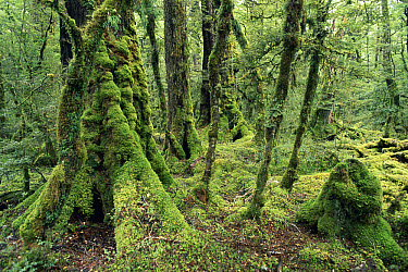 Red Beech (Nothofagus fusca) temperate rainforest, Fjordland National Park, South Island, New Zealand  -  Michael & Patricia Fogden