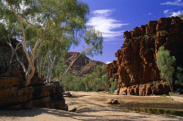 Ghost Gum (Eucalyptus papuana) trees in Trephina Gorge, MacDonnell Ranges, east of Alice Springs, Australia  -  Michael & Patricia Fogden