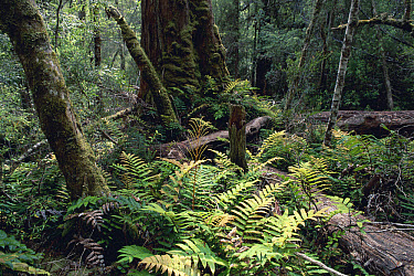 Hardwater Fern (Blechnum wattsii) in temperate rainforest, Mount Field National Park, Tasmania, Australia  -  Michael & Patricia Fogden
