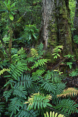 Hardwater Fern (Blechnum wattsii) in temperate rainforest, Tahune Forest Reserve, Tasmania, Australia  -  Michael & Patricia Fogden
