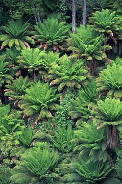 Tree Fern (Dicksonia antarctica) looking down onto ferns, Tahune Forest Reserve, Tasmania, Australia  -  Michael & Patricia Fogden