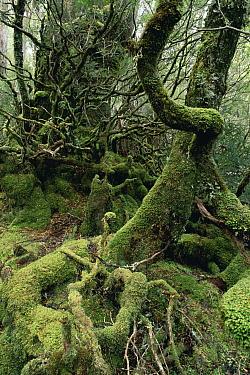 Myrtle Beech (Nothofagus cunninghamii) temperate rainforest, Cradle Mountain, St Clair National Park, Tasmania, Australia  -  Michael & Patricia Fogden