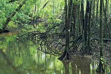 Mangrove (Avicennia sp) forest Noah Creek, Daintree National Park, Queensland, Australia  -  Michael & Patricia Fogden