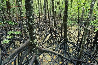 Mangrove (Avicennia sp) forest, Cairns, Queensland, Australia  -  Michael & Patricia Fogden