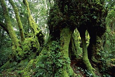 Antarctic Beech (Nothofagus moorei) trees in temperate rainforest, Lamington National Park, Queensland, Australia  -  Michael & Patricia Fogden