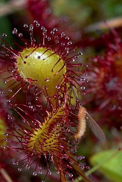 Common Sundew (Drosera rotundifolia) with trapped fly, Beeston Bog, Norfolk, England  -  Michael & Patricia Fogden