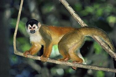 Black-crowned Central American Squirrel Monkey (Saimiri oerstedii) male in rainforest, Costa Rica  -  Michael & Patricia Fogden