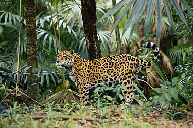 Jaguar (Panthera onca) in the rainforest, Belize  -  Michael & Patricia Fogden