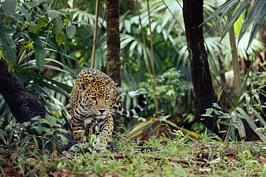 Jaguar (Panthera onca) stalking in the rainforest, Belize  -  Michael & Patricia Fogden