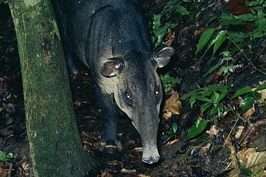 Baird's Tapir (Tapirus bairdii) in the rainforest, Costa Rica  -  Michael & Patricia Fogden