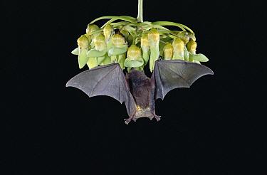 Underwood's Long-tongued Bat (Hylonycteris underwoodi) visiting Mucuna flowers, cloud forest, Costa Rica  -  Michael & Patricia Fogden