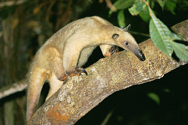 Southern Anteater (Tamandua tetradactyla) on tree branch, Amazon rainforest, Peru  -  Michael & Patricia Fogden