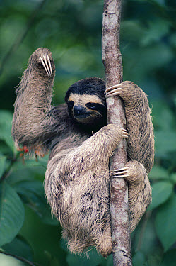 Brown-throated Three-toed Sloth (Bradypus variegatus) female in rainforest, Panama  -  Michael & Patricia Fogden