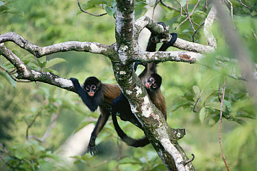 Black-handed Spider Monkey (Ateles geoffroyi) group in rainforest, Panama  -  Michael & Patricia Fogden