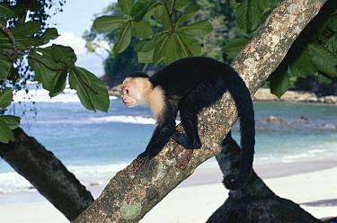 White-faced Capuchin (Cebus capucinus) monkey, on tree trunk, Manuel Antonio National Park, Costa Rica  -  Michael & Patricia Fogden