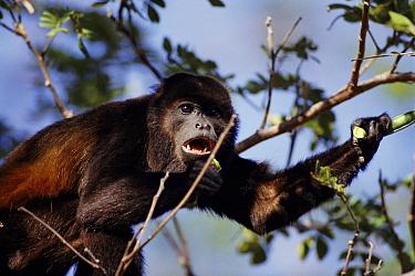 Mantled Howler Monkey (Alouatta palliata) feeding, dry forest, Guanacaste National Park, Costa Rica  -  Michael & Patricia Fogden
