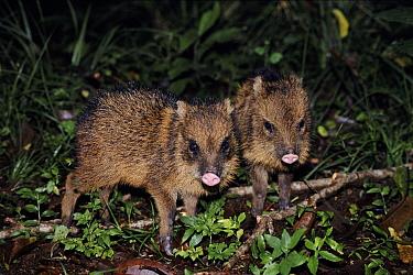 Collared Peccary (Tayassu tajacu) juvenile, Monteverde Cloud Forest Reserve, Costa Rica  -  Michael & Patricia Fogden