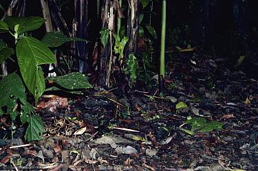 Fer-de-lance (Bothrops asper) snake, hunting in the rainforest at night, Costa Rica  -  Michael & Patricia Fogden
