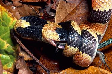 Calico Snake (Oxyrhopus petola) constricting a rainforest Middleamerican Ameiva (Ameiva festiva) lizard, rainforest, Costa Rica  -  Michael & Patricia Fogden
