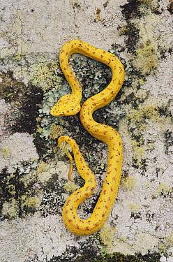 Eyelash Viper (Bothriechis schlegelii) gold morph on tree trunk in rainforest, Costa Rica  -  Michael & Patricia Fogden