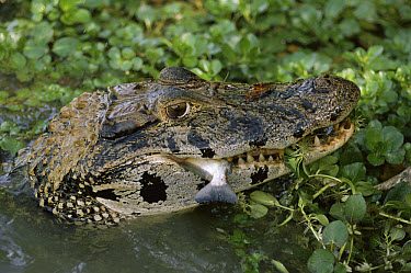 Black Caiman (Melanosuchus niger) eating a Redeye Piranha (Serrasalmus sp) found in rivers and oxbow lakes, Manu National Park Peru  -  Michael & Patricia Fogden