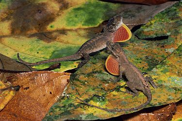 Ground Anole (Norops humilis) two males in a display of dominance, rainforest Costa Rica  -  Michael & Patricia Fogden