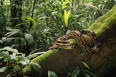 Boa Constrictor (Boa constrictor) coiled on buttress root, rainforest, Costa Rica  -  Michael & Patricia Fogden