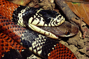 Bright-ringed Snake (Erythrolamprus bizonus) rear-fanged mimic of Coral Snake, swallowing a Cat-eyed Snake, rainforest, Costa Rica  -  Michael & Patricia Fogden