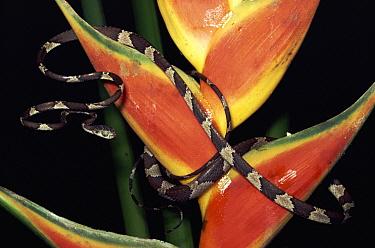 Blunt-headed Tree Snake (Imantodes cenchoa) on Heliconia (Heliconia stricta), Amazonian ecosystem, rainforest, Ecuador  -  Michael & Patricia Fogden