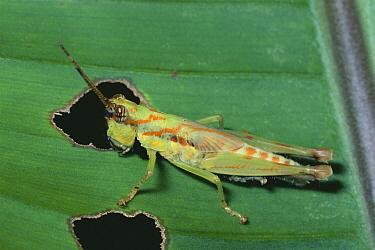 Grasshopper (Acrididae) feeding on leaf, Amazon rainforest, Ecuador  -  Michael & Patricia Fogden