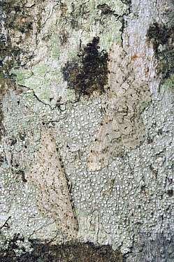 Looper Moth (Geometridae) camouflaged against lichen-covered tree trunk, cloud forest, Costa Rica  -  Michael & Patricia Fogden