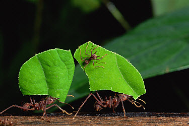 Leafcutter Ant (Atta sp) group workers carrying leaf segments, note minim riding on leaf as protection against parasitic flies, rainforest, Costa Rica  -  Michael & Patricia Fogden