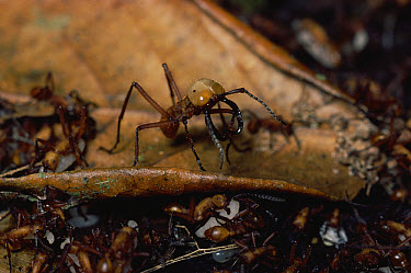 Army Ant (Eciton sp) group with soldier guard, note huge mandibles, rainforest, Costa Rica  -  Michael & Patricia Fogden