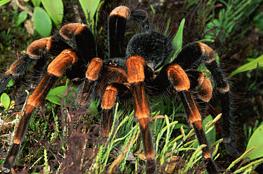 Red-kneed Tarantula (Euathlus mesomelas) close-up in vegetation, cloud forest, Costa Rica  -  Michael & Patricia Fogden