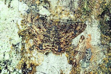 Looper Moth (Geometridae) camouflaged against tree trunk, Monteverde Cloud Forest Reserve, Costa Rica  -  Michael & Patricia Fogden