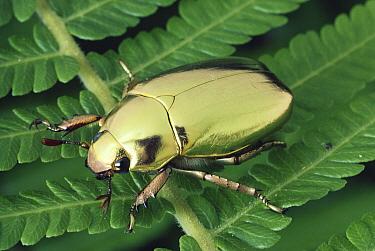 Golden Scarab Beetle (Plusiotis resplendens) portrait on leaf, Monteverde Cloud Forest Reserve, Costa Rica  -  Michael & Patricia Fogden
