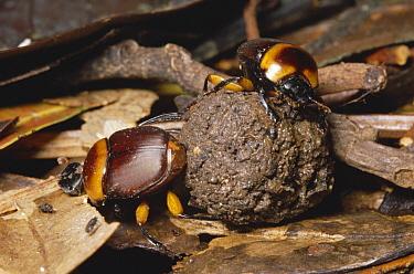 Dung Beetle (Scarabaeidae) pair rolling ball of monkey dung, rainforest, Manu National Park, Peru  -  Michael & Patricia Fogden