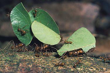 Leafcutter Ant (Atta sp) group workers carrying leaf sections with tiny workers called minims riding on leaf, possibly to protect from parasitic flies, rainforest, Costa Rica  -  Michael & Patricia Fogden