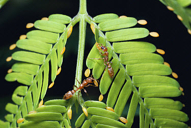 Ant (Pseudomyrmex sp) pair collecting beltian bodies from plant for food, dry forest, Guanacaste, Costa Rica  -  Michael & Patricia Fogden
