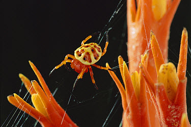 Orb-weaver Spider (Paraplectana sp) on the flowers of Pygmymelon (Psiguria sp), Amazon rainforest, Ecuador  -  Michael & Patricia Fogden