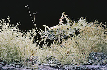 Lichen Katydid (Markia hystrix) disguised on Beard Lichen (Usnea sp) on which it feeds, cloud forest, Costa Rica  -  Michael & Patricia Fogden