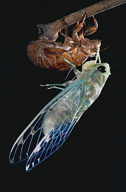 Cicada (Cicadidae) adult emerging from final instar, rainforest, Costa Rica  -  Michael & Patricia Fogden
