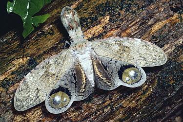 Lantern Bug (Fulgora laternaria) defensive display, rainforest Panama  -  Michael & Patricia Fogden