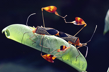 Flag-footed Bug (Anisocelis flavolineata) pair displaying flagged legs and mating on Passionvine leaf with female feeding, rainforest, Costa Rica  -  Michael & Patricia Fogden