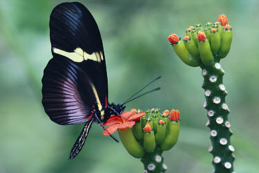 Passionvine Butterfly (Heliconius clysonimus) collecting pollen at flowers of Psiguria vine, cloud forest, Costa Rica  -  Michael & Patricia Fogden
