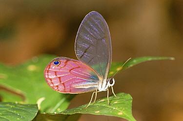 Nymphalid Butterfly (Cithaerias sp) on leaf, Amazon rainforest, Peru  -  Michael & Patricia Fogden