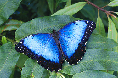 Blue Morpho (Morpho peleides) butterfly in cloud forest, Costa Rica  -  Michael & Patricia Fogden