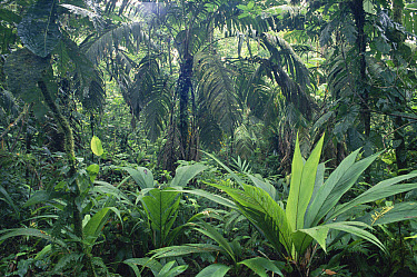 Interior of swamp forest with abundance of palms, Costa Rica  -  Michael & Patricia Fogden